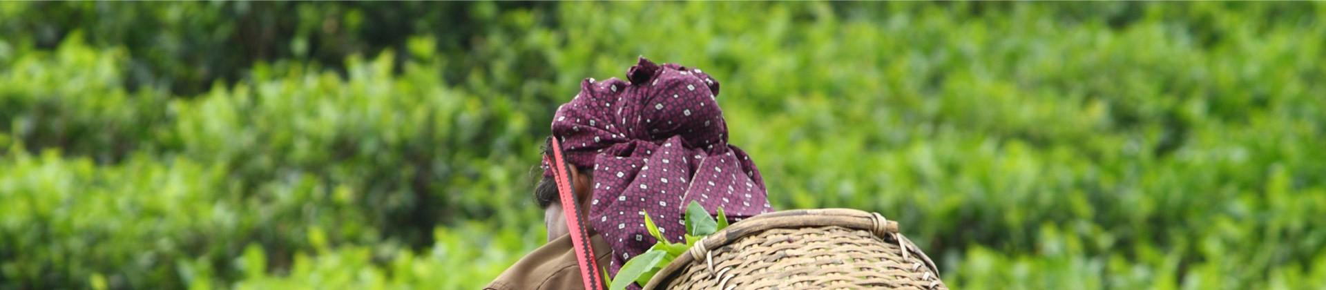 Recogiendo Moringa en el Himalaya (India)